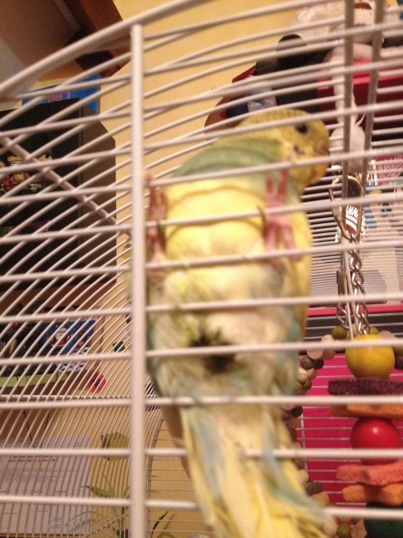Ma perruche est-elle malade ? Image12