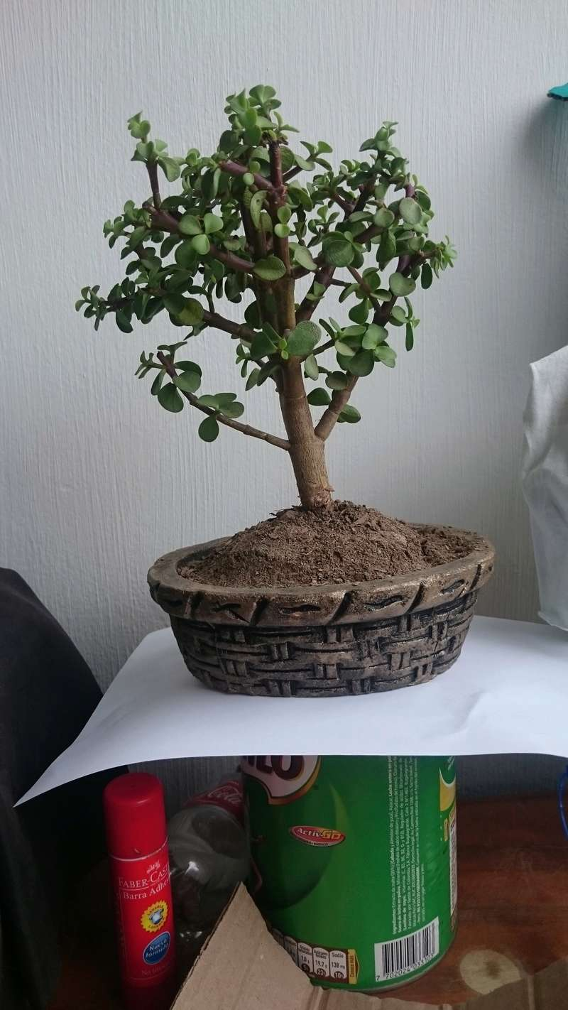 ¿Mi primer bonsai? Dsc_0913