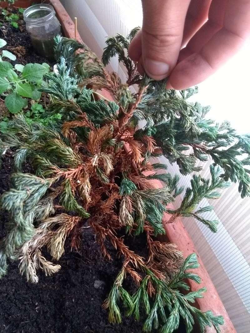 Problemas con mi pino azul Img_2012