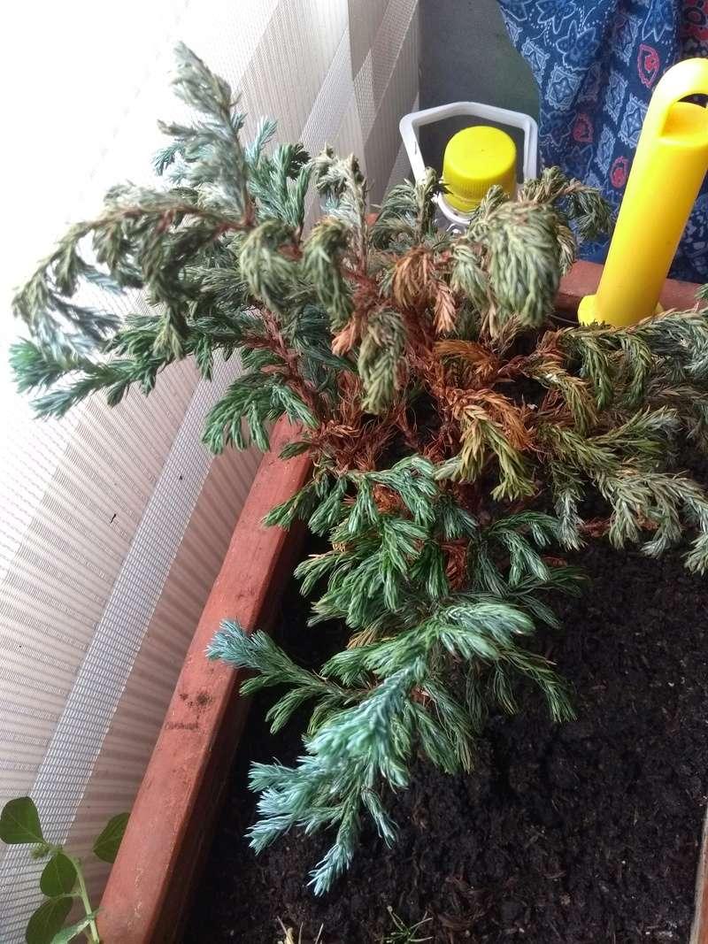 Problemas con mi pino azul Img_2013