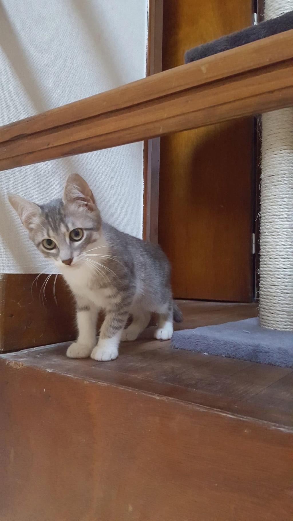 Ouest, chaton mâle, gris blanc né le 05/05/2018 39082112