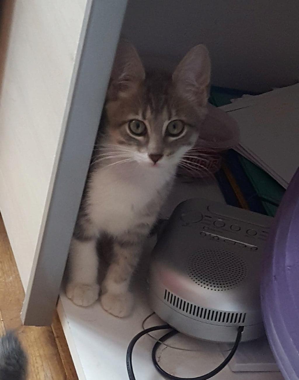 Ouest, chaton mâle, gris blanc né le 05/05/2018 39102613