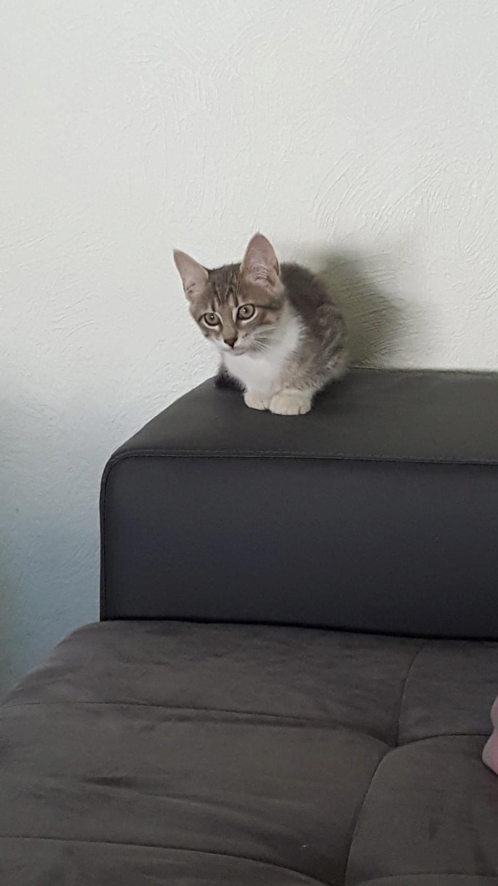 Ouest, chaton mâle, gris blanc né le 05/05/2018 39113413