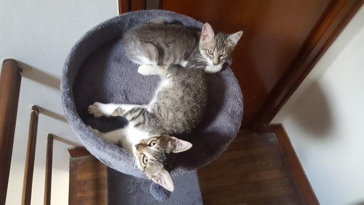 Ouest, chaton mâle, gris blanc né le 05/05/2018 40164710