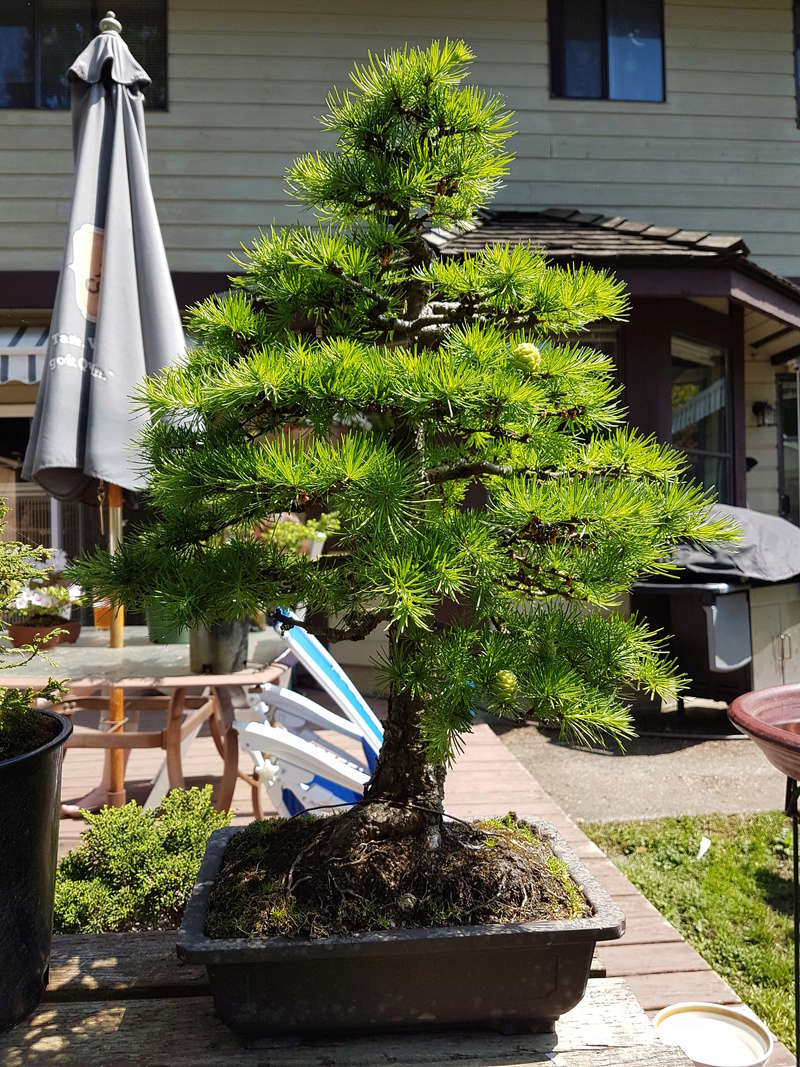Japanese Larch  about 30 yrs. 20180513