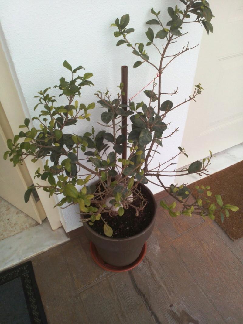 Bonsai Ficus Retrusa no brota hojas nuevas Img_2011