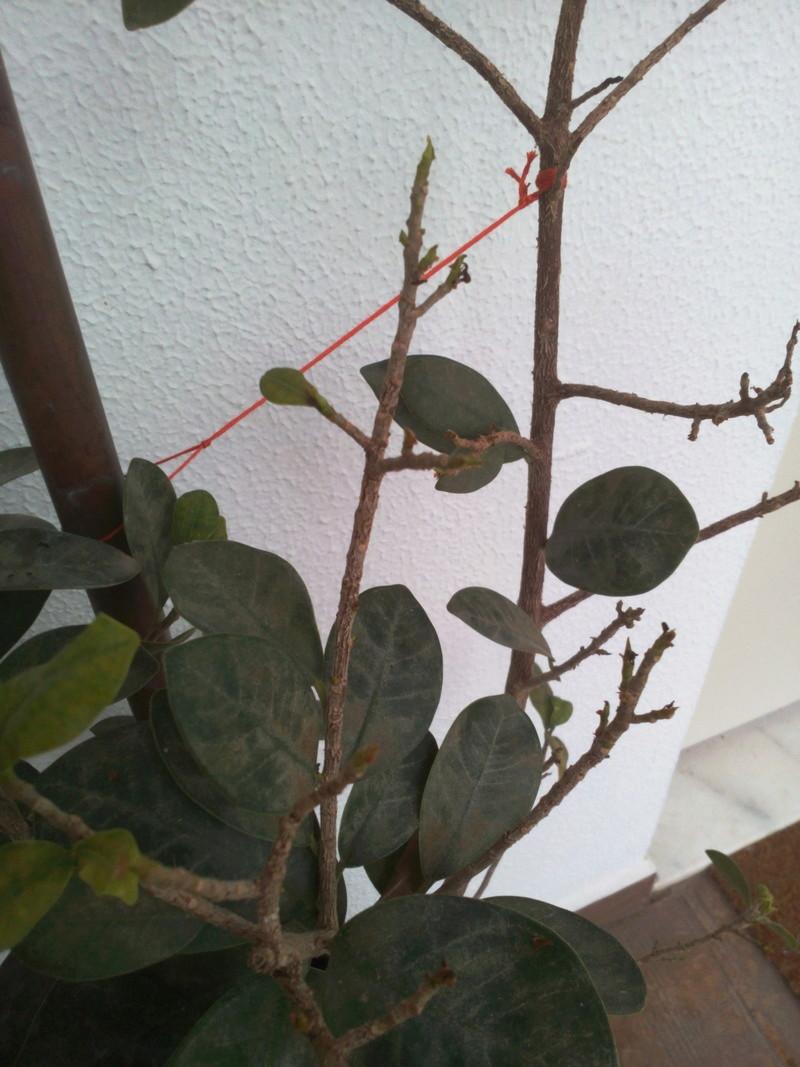 Bonsai Ficus Retrusa no brota hojas nuevas Img_2012