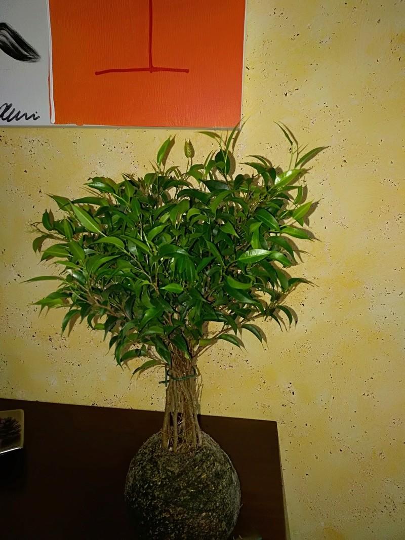 Ficus benjamina - Kokedama Img_2010