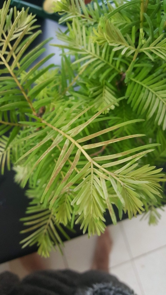 Sequoia Leaves 20180510
