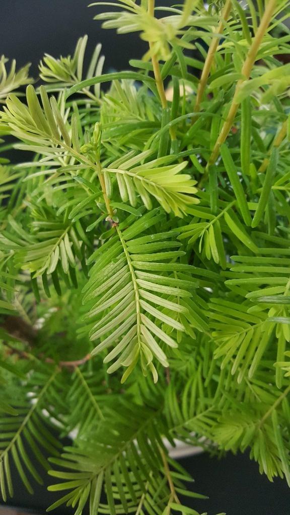 Sequoia Leaves 20180511