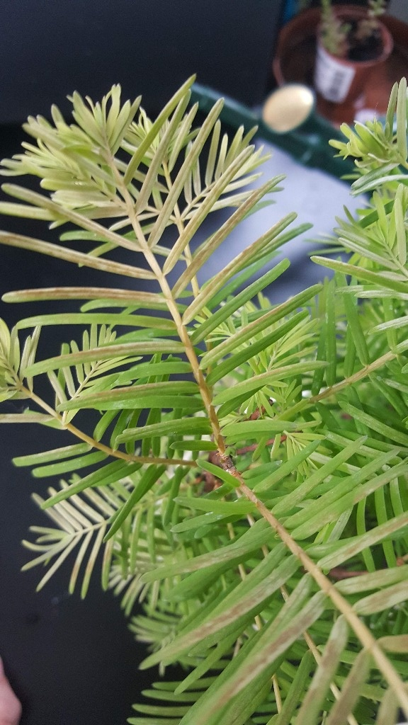 Sequoia Leaves 20180512