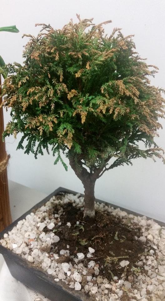 ayuda con bonsai 33342410