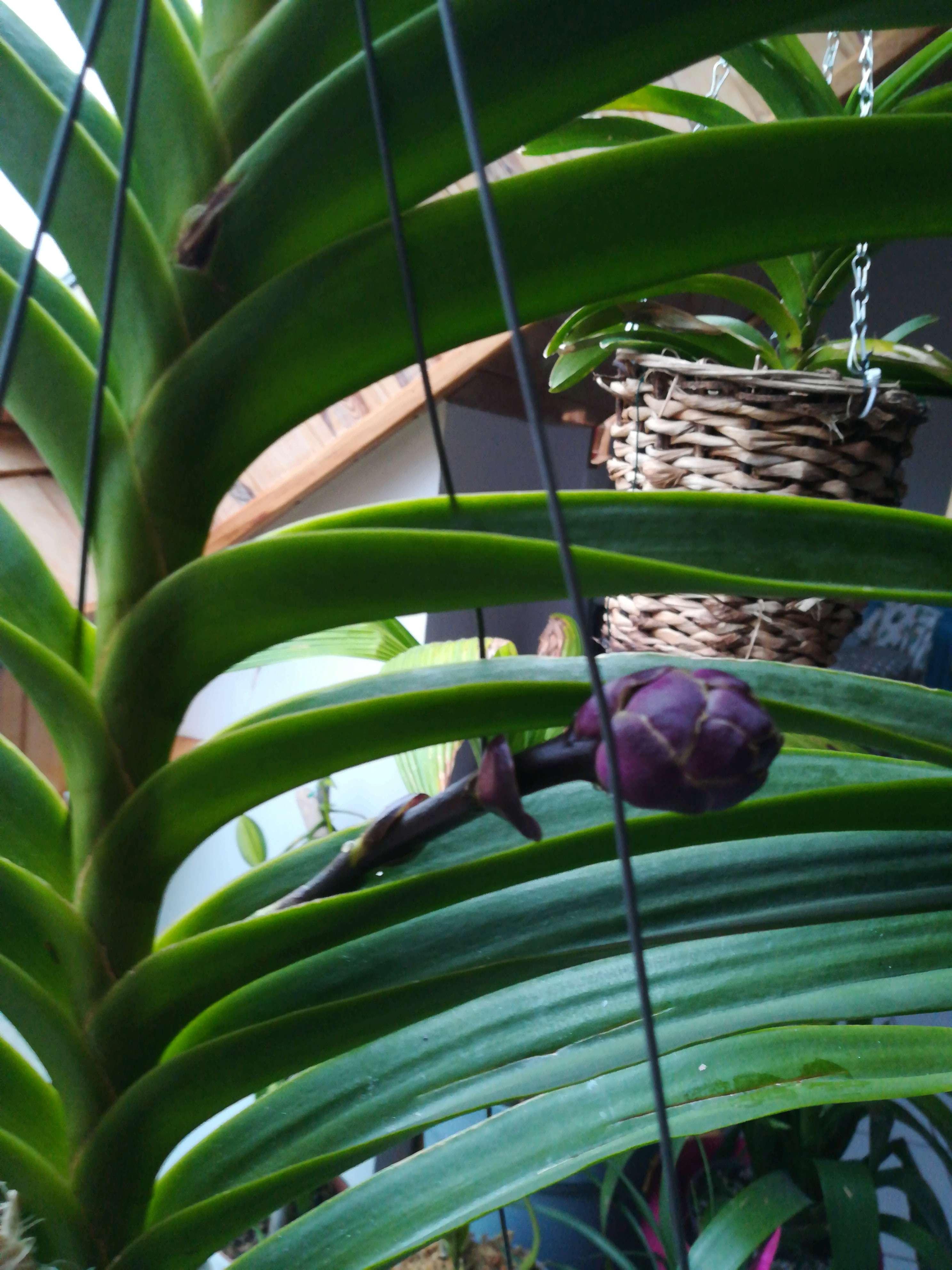 Vanda Rhv.Thailland x mimi palmer 15275712