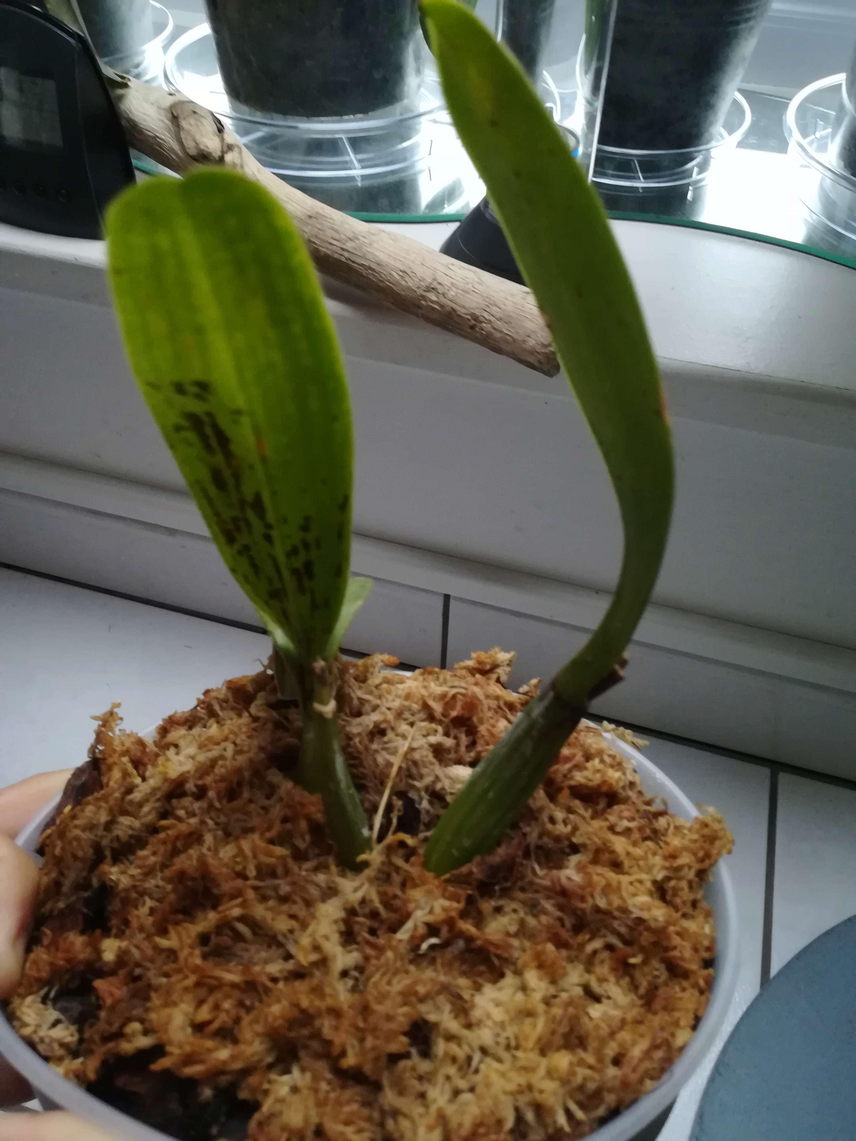 Cattleya indonesie?  Img_2015