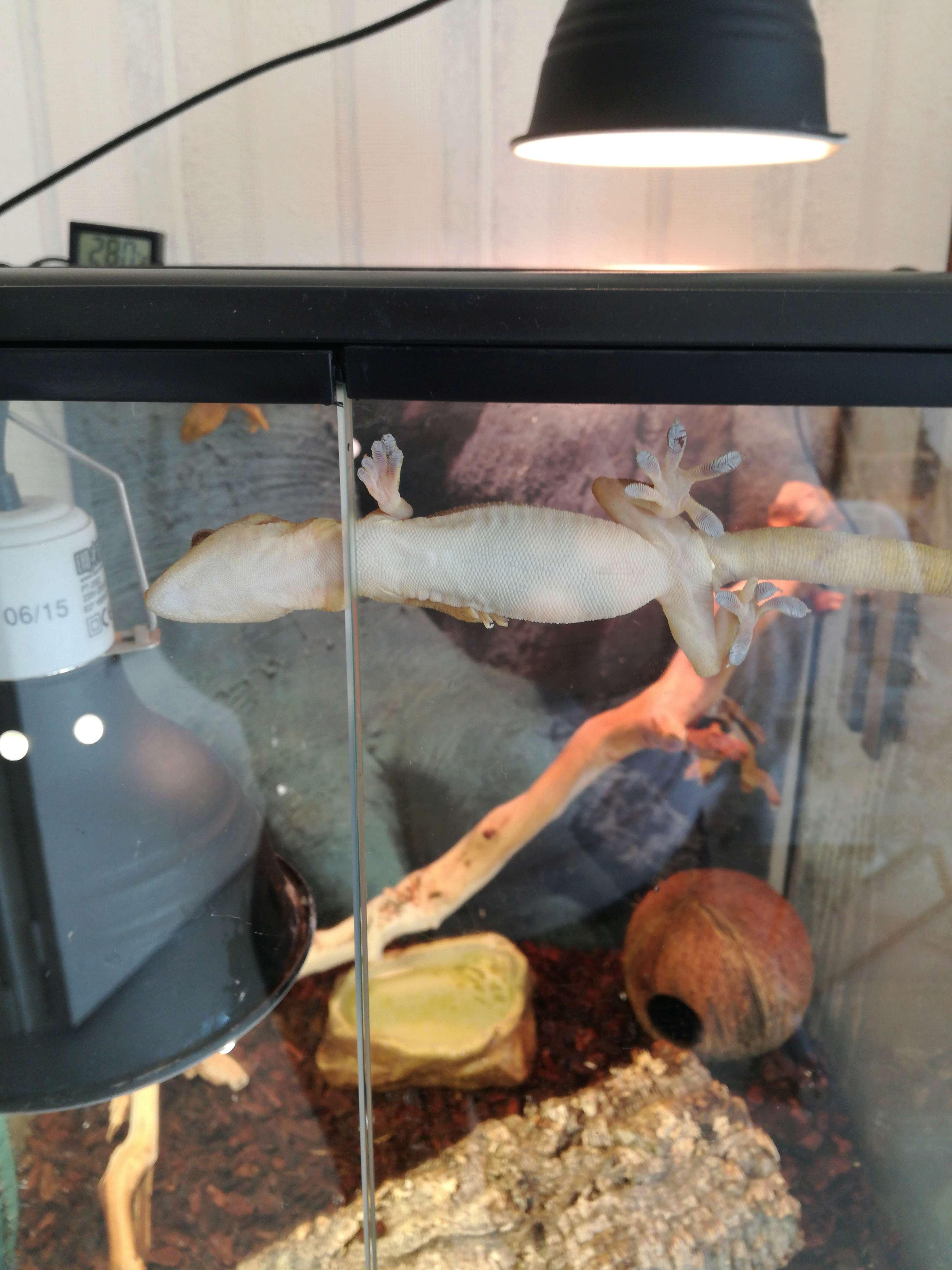 Savoir le sex de mes gecko ligné Img_2012