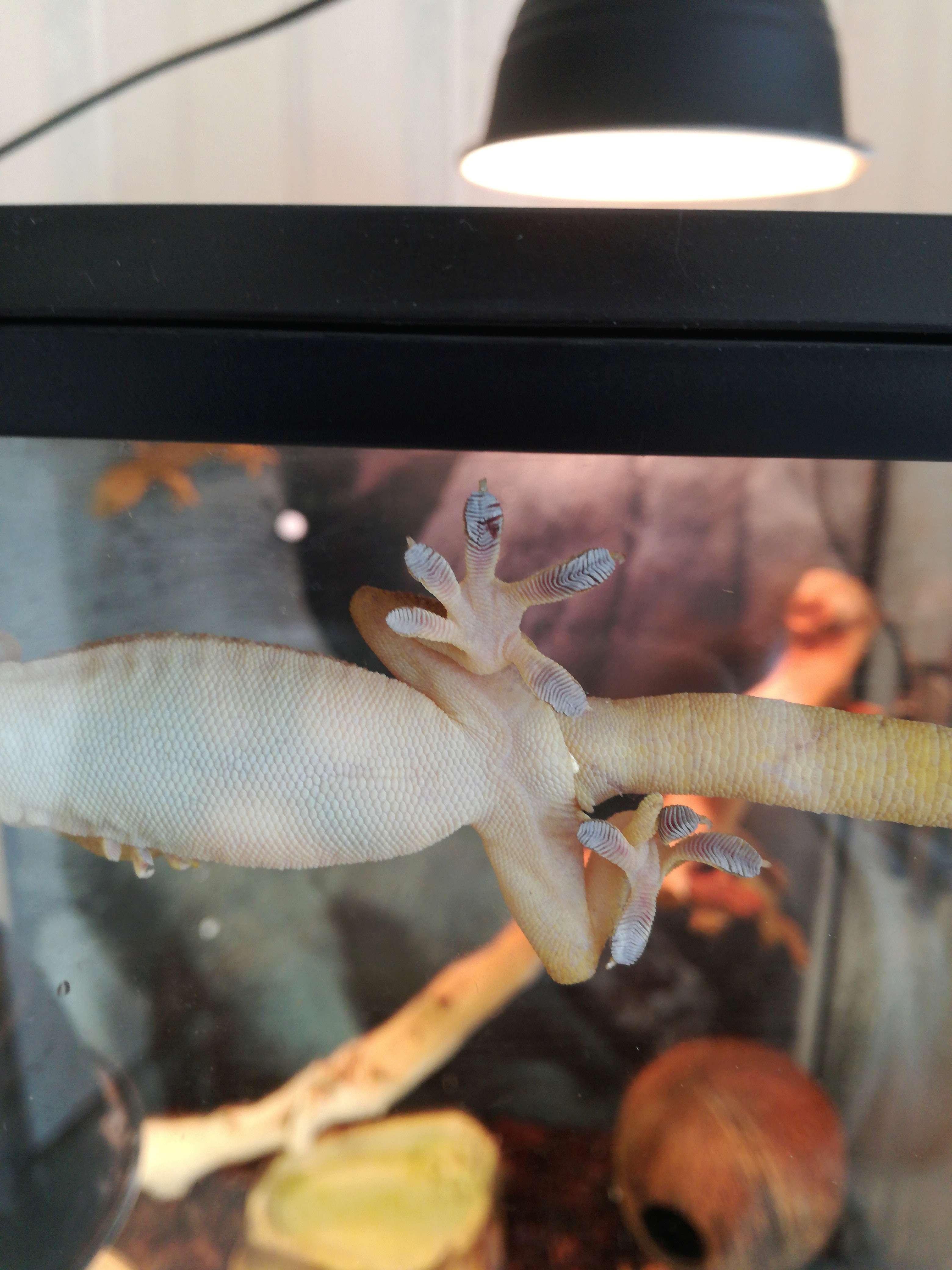 Savoir le sex de mes gecko ligné Img_2014