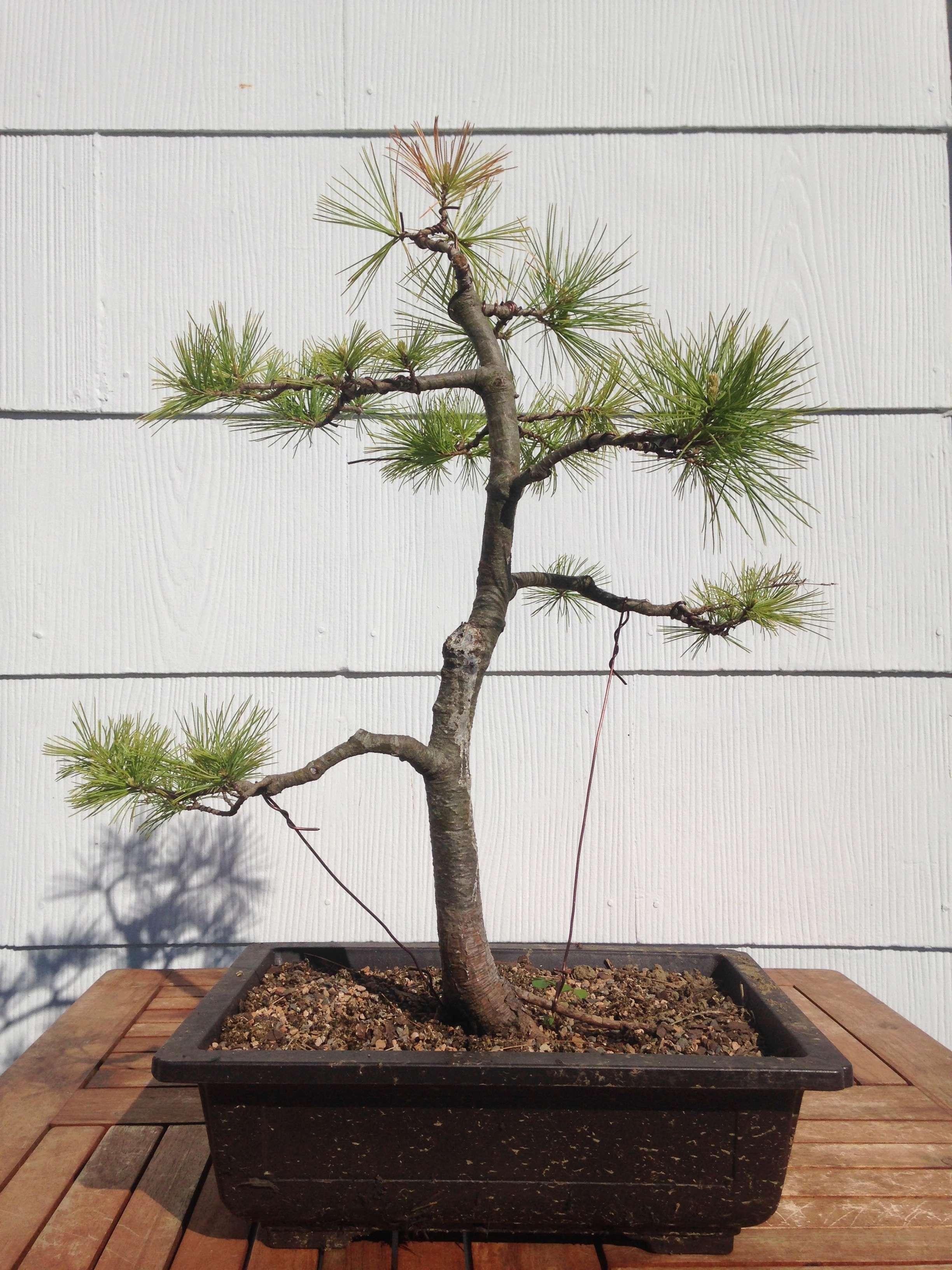 Backbudding on White Pine Pinus Strobus Img_8411