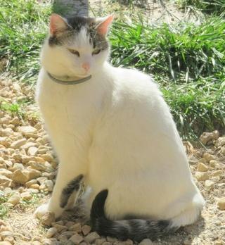 TIM mâle tigré et blanc 6 ans  Img_1612