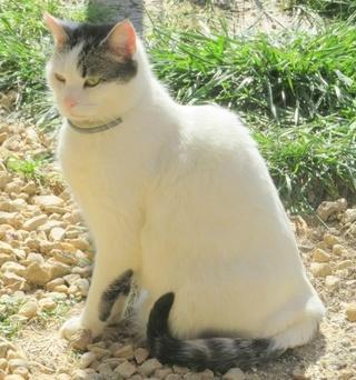 TIM mâle tigré et blanc 6 ans  Img_1613