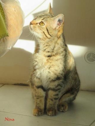 NINA femelle tigrée 1 an et demi Img_2112