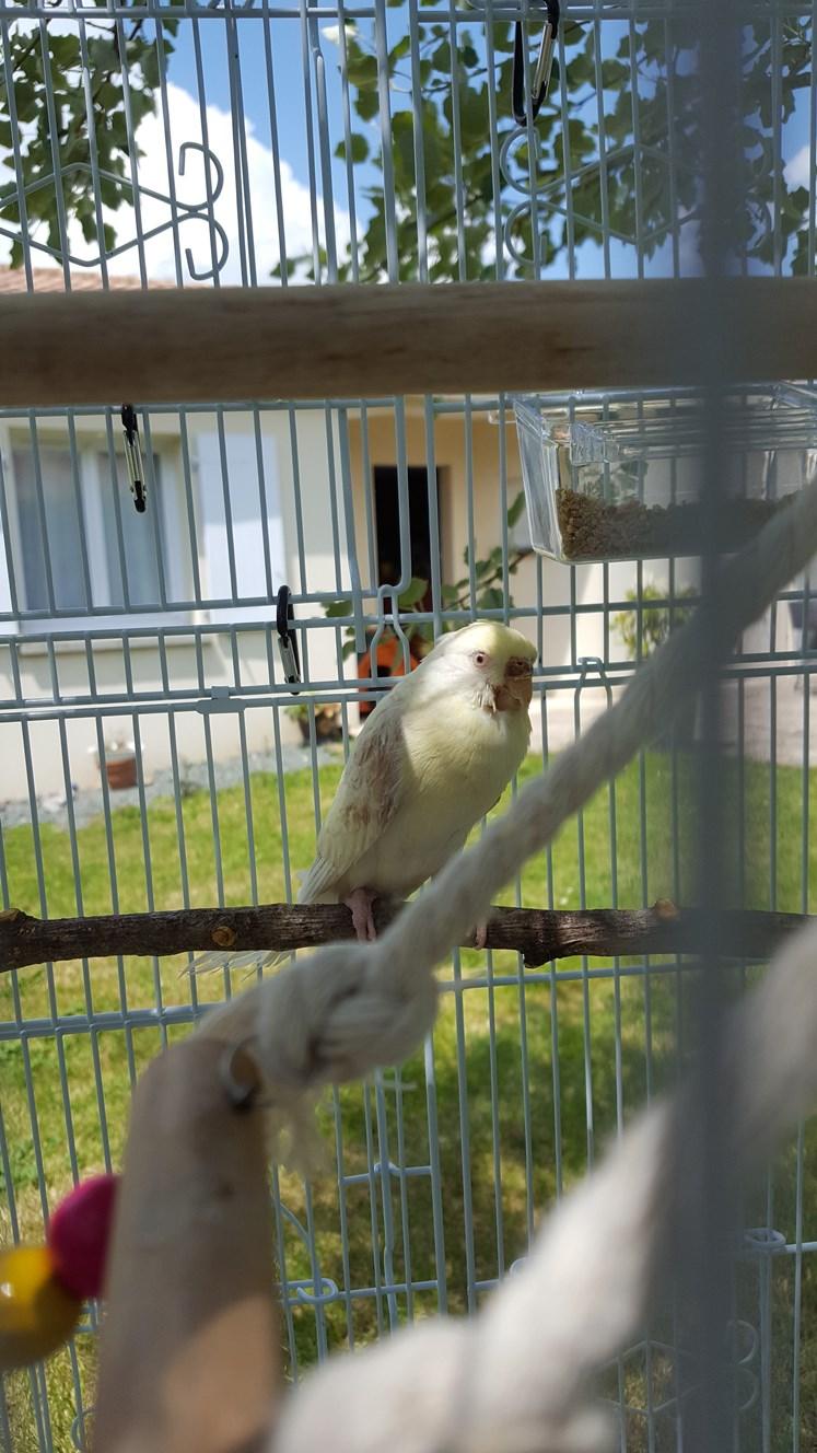 Adoption d'une perruche attaquée par ses congénères 20180526