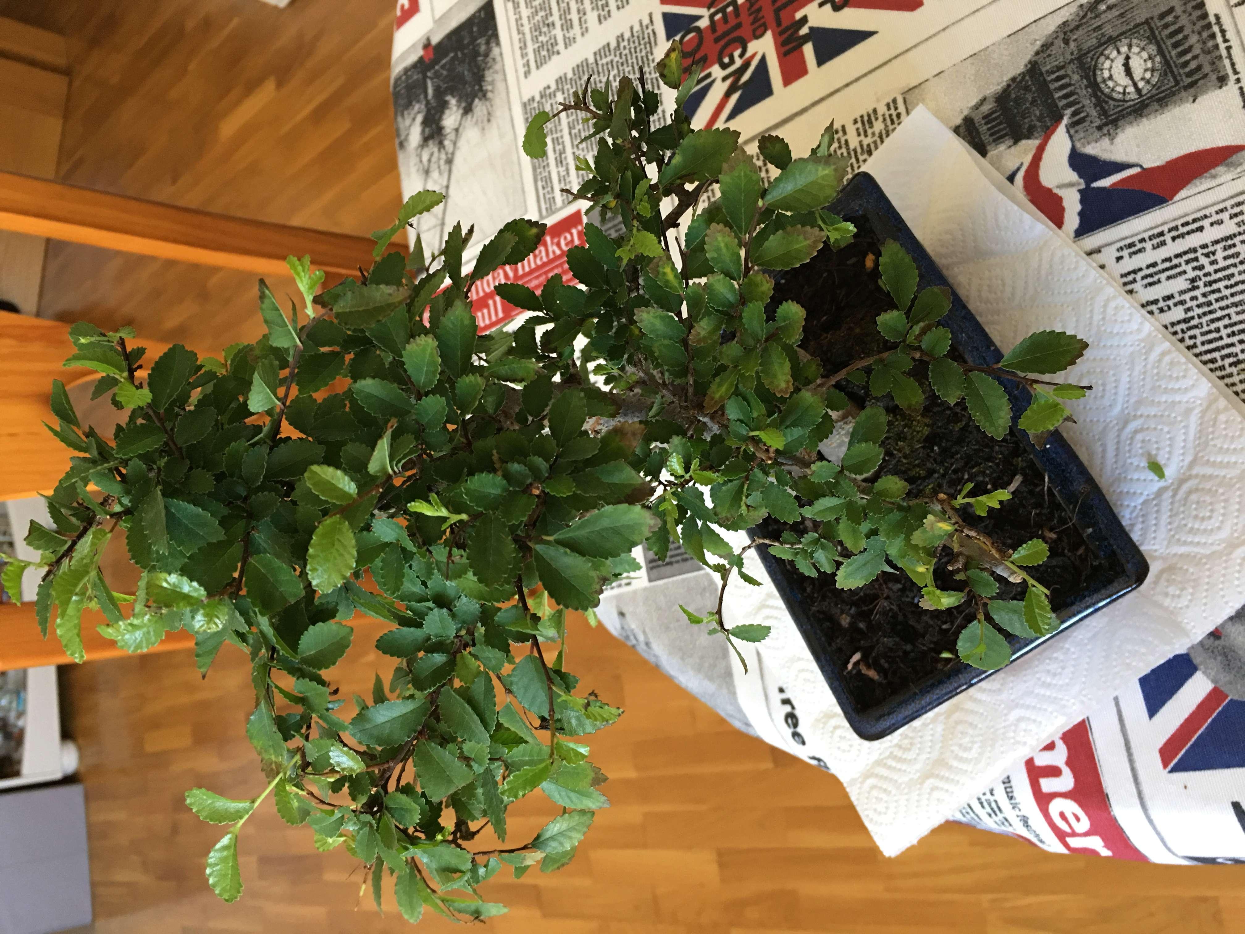 mi bonsai , un olmo chino se secan las hojas Img-1512