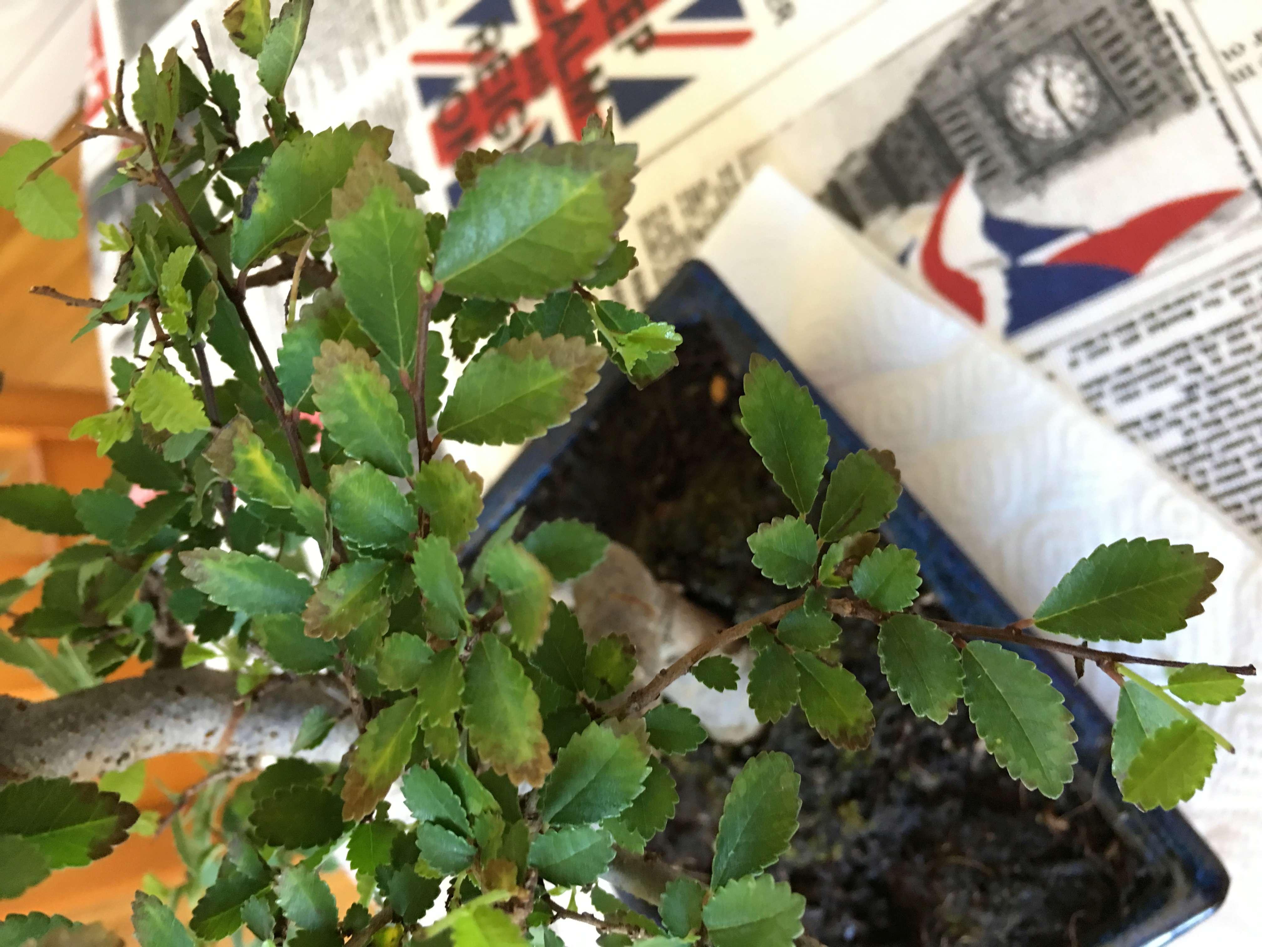 mi bonsai , un olmo chino se secan las hojas Img-1513