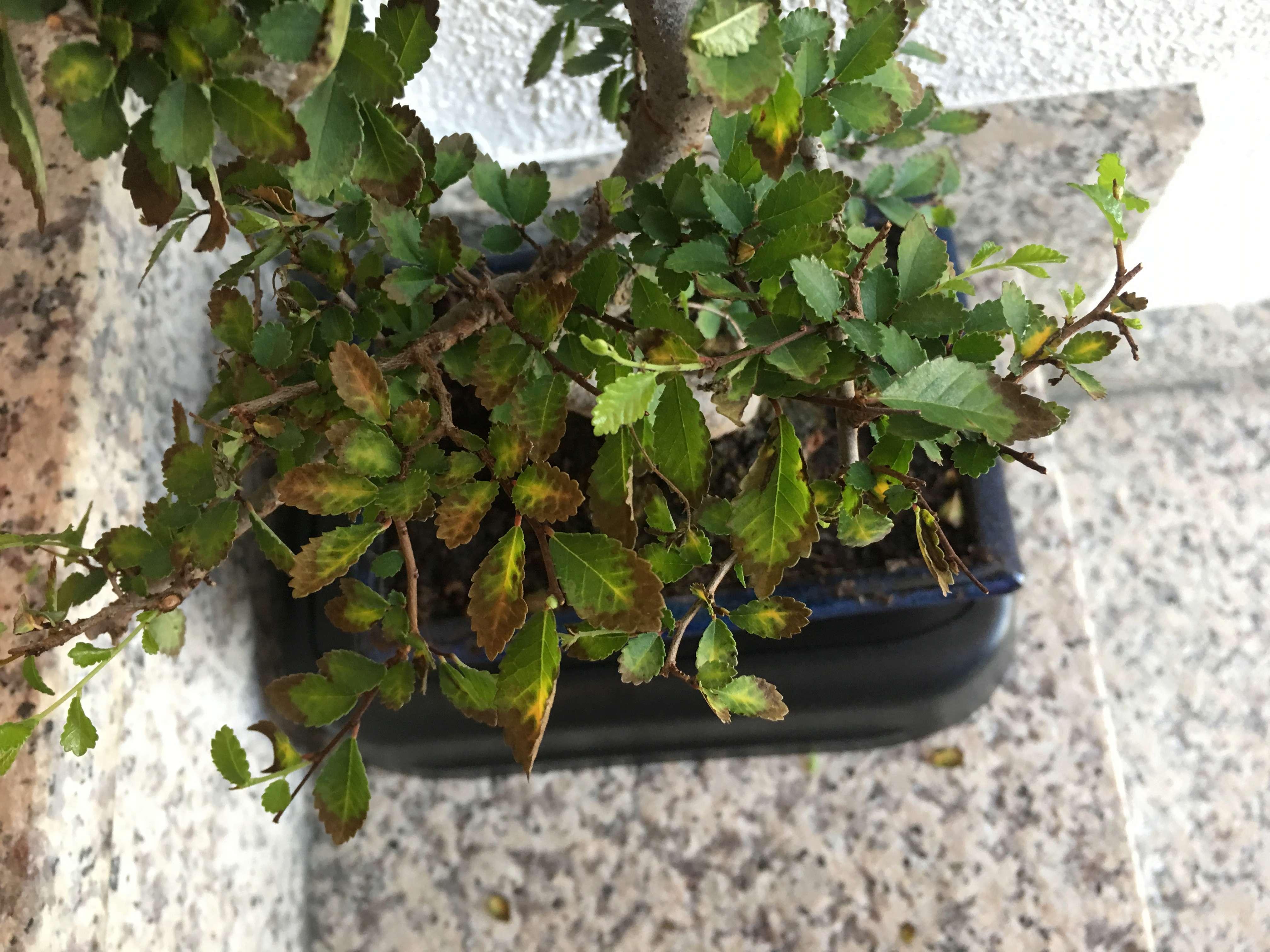 mi bonsai , un olmo chino se secan las hojas Img-1612