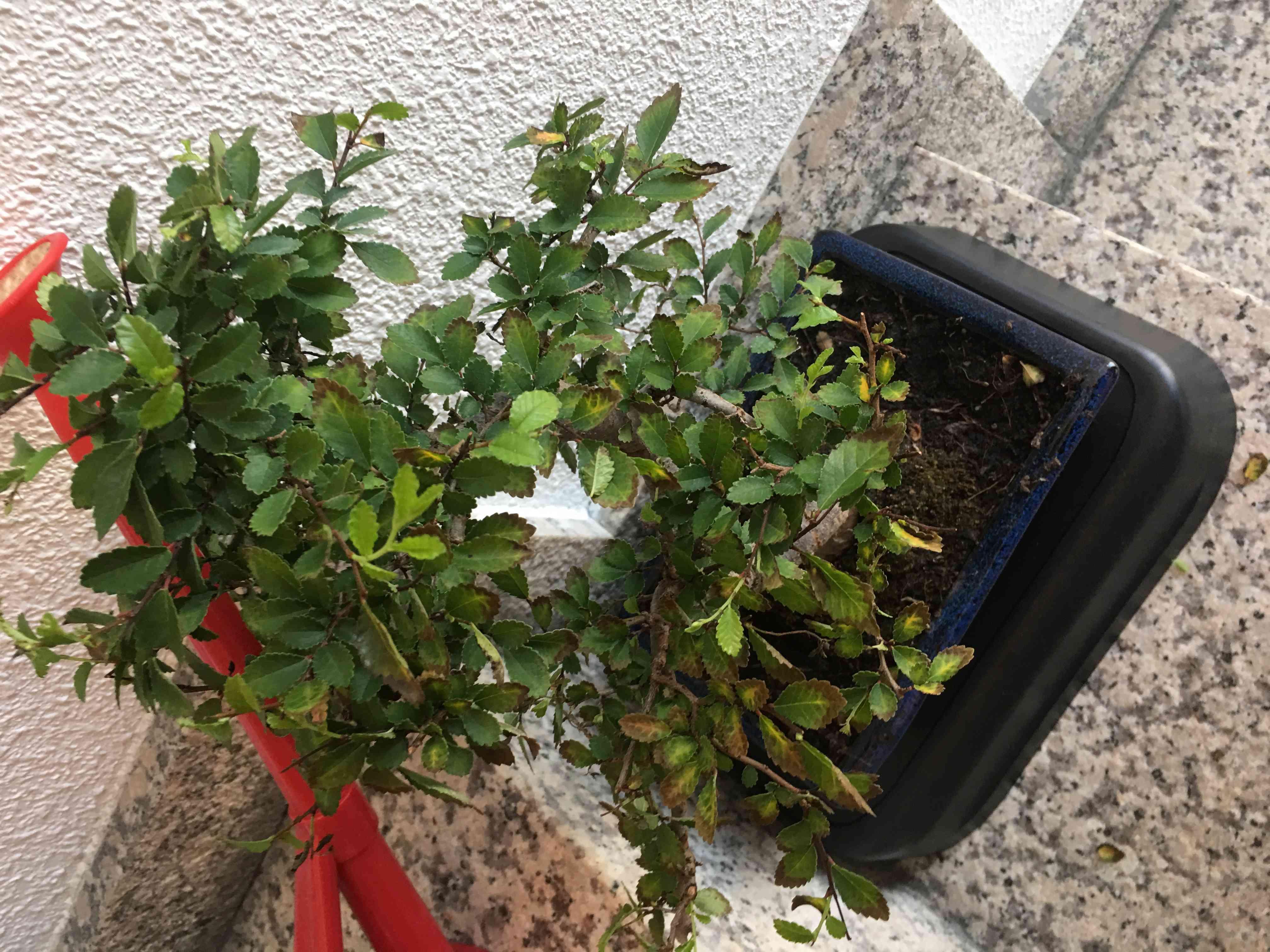 mi bonsai , un olmo chino se secan las hojas Img-1613