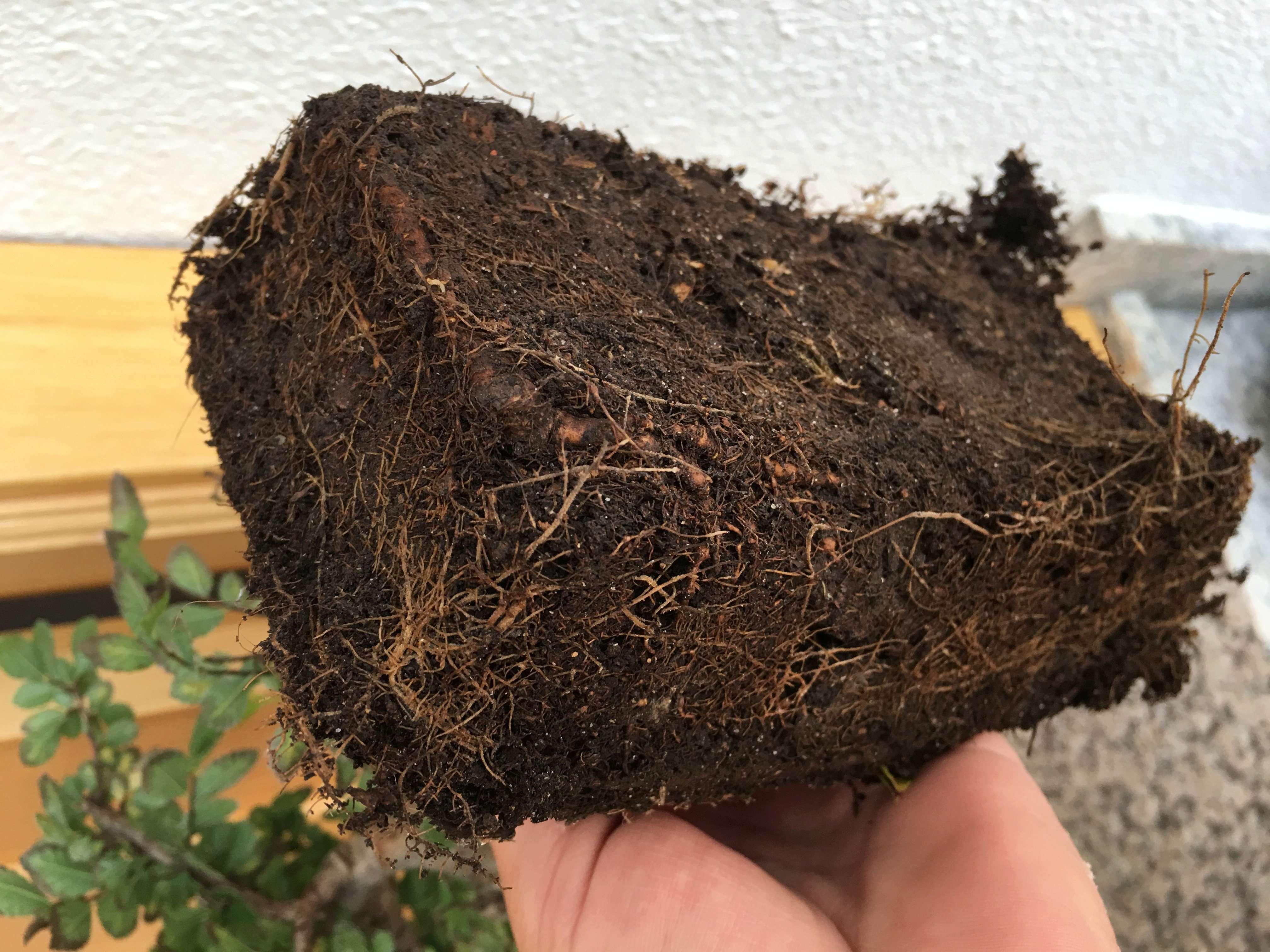 mi bonsai , un olmo chino se secan las hojas Img-1615