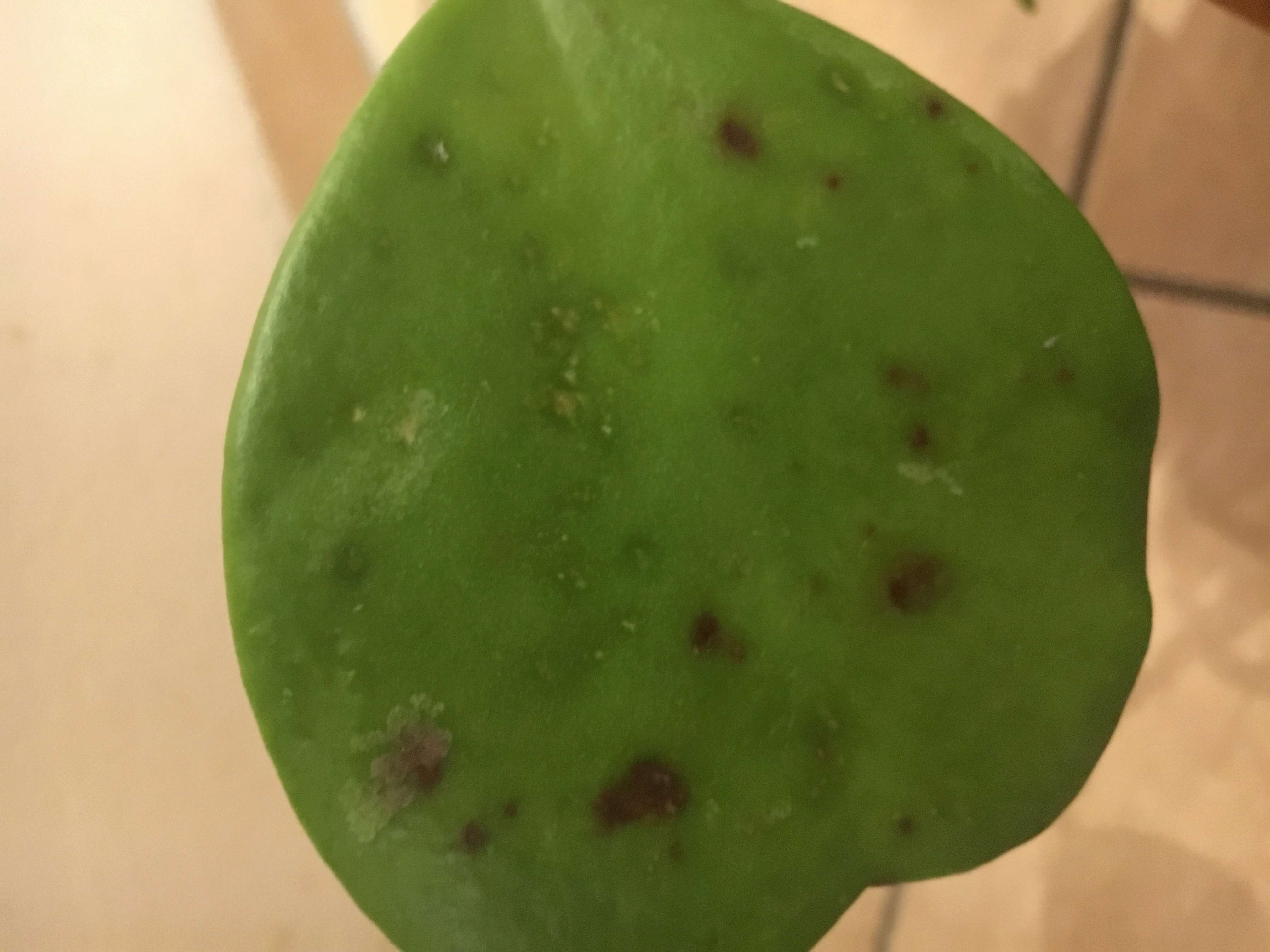 Braune Flecken auf Blättern der Pubicalyx 7b8e6610
