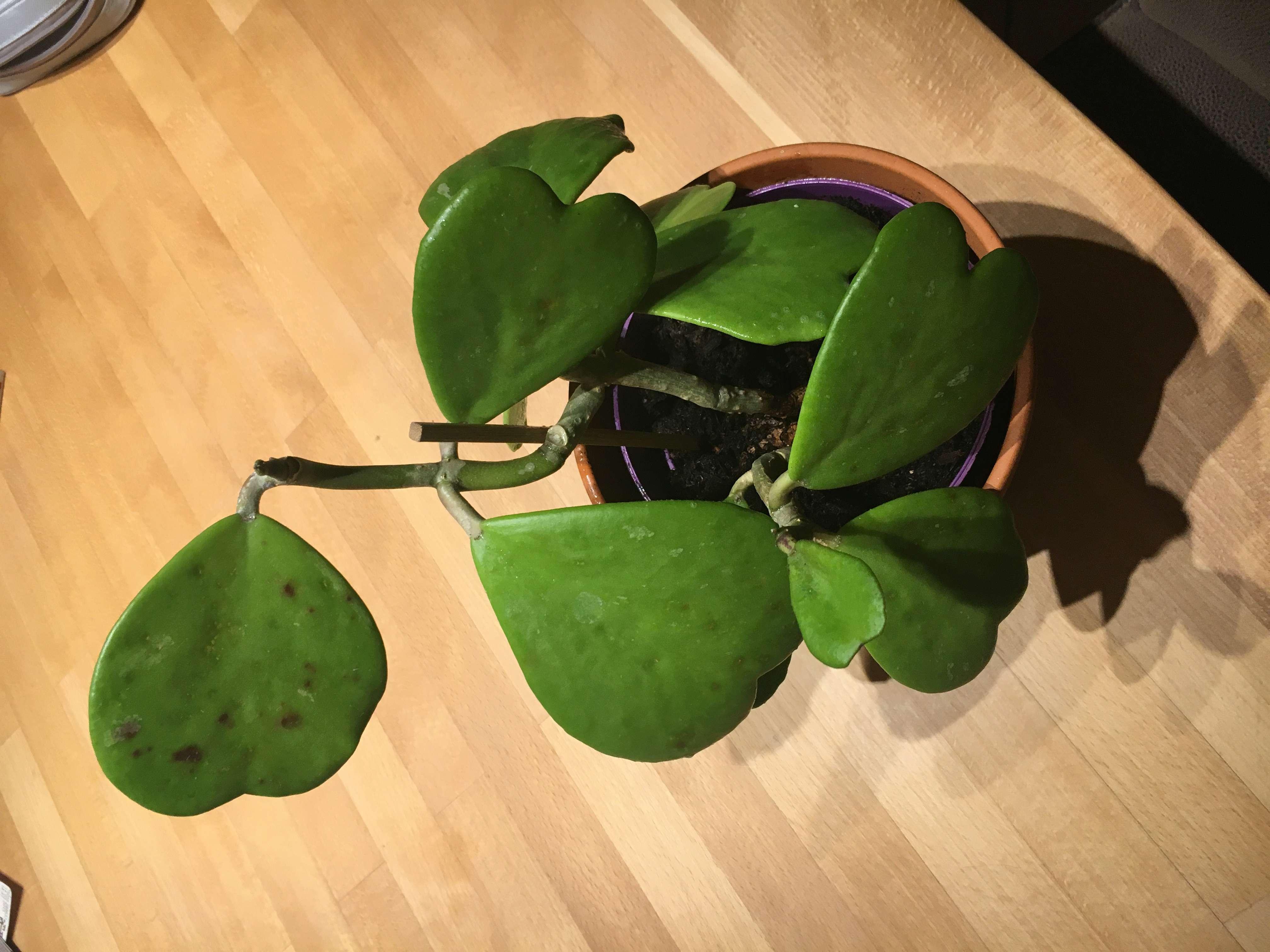 Braune Flecken auf Blättern der Pubicalyx C5472410