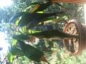 Yucca malade  Img_2011