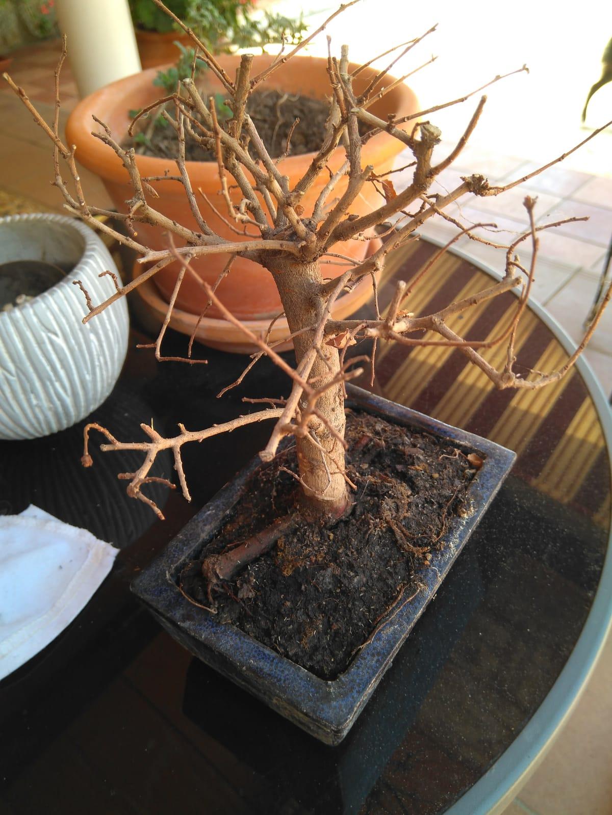 Una persona que ya no está me regalo este bonsái (el primero) y necesito reanimarlo sea como sea. Whatsa14