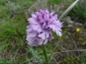 Quelques orchidées du Sud Ouest Australien - Page 4 P1170910
