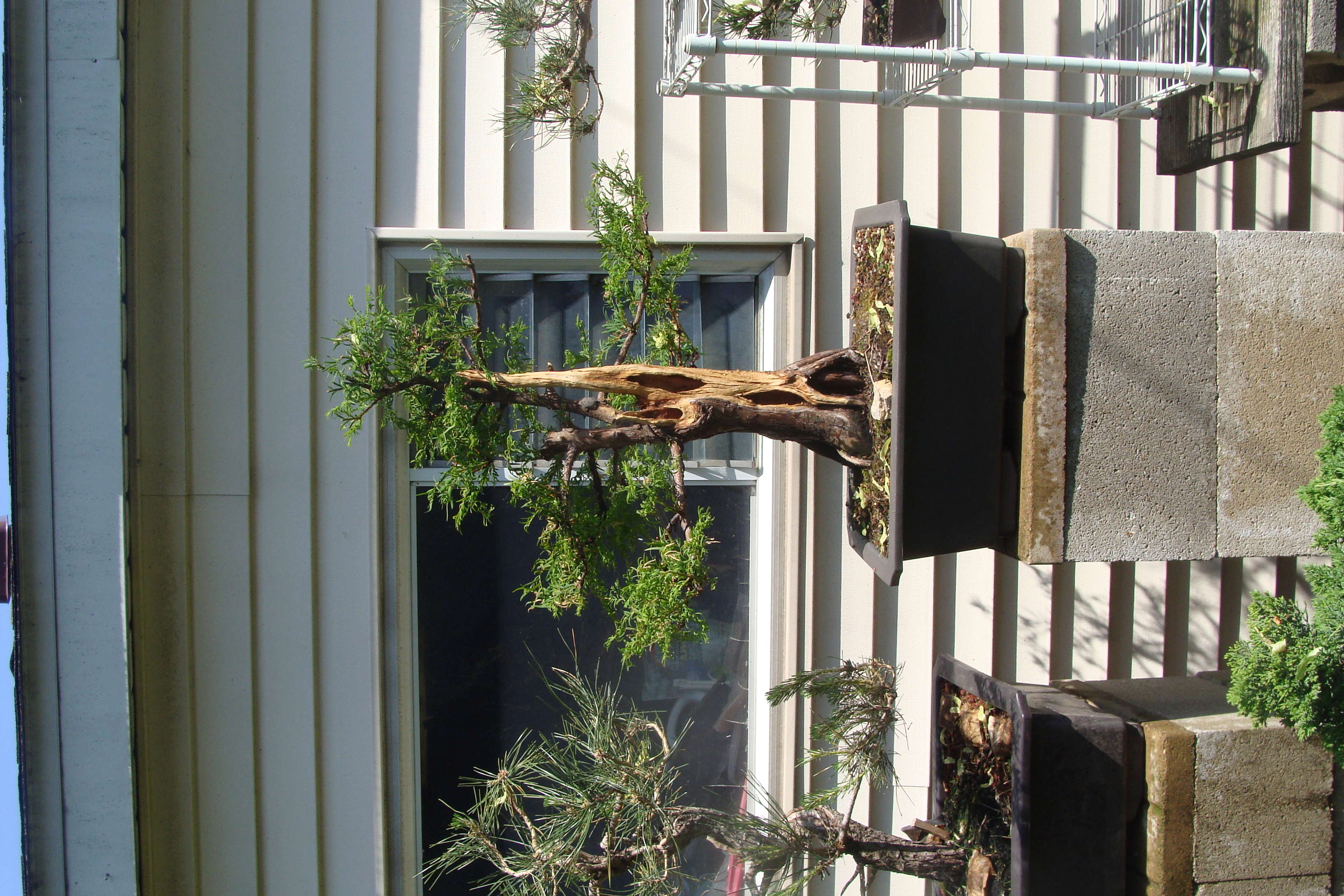 Sequoia Leaves Dsc09712