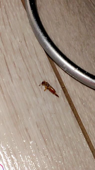 [Dermaptera] Quel est cet insecte ? Captur10