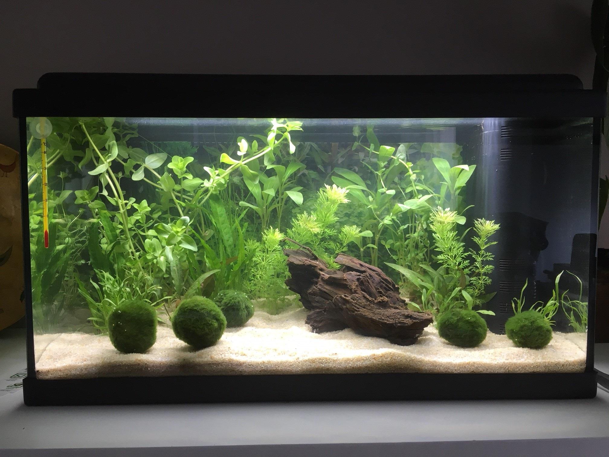 Mon premier aquarium : 60L planté - présentation. 2eme_p10
