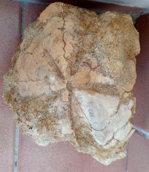 Limpieza Spatangus Pericosmus Spatan15