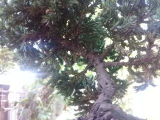 Juniperus procumben nana 20180610