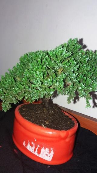 Juniperus procumben nana Img-2013