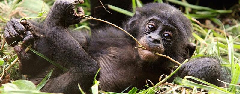 On l'appelle le « paradis des bonobos » Lola-h10