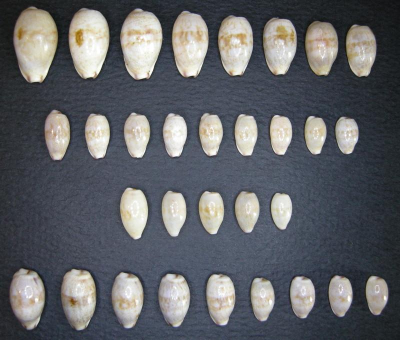 Cypraea fimbriata (Purpuradusta) Gmelin, 1797 Fimbri10