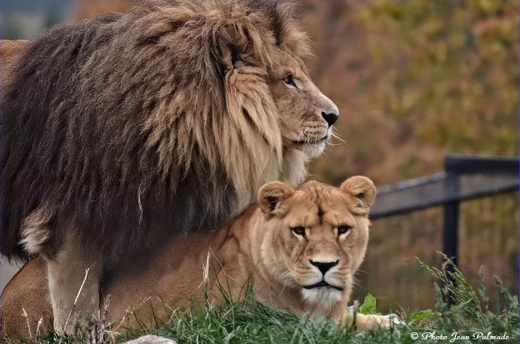 Lions Dsc_4610