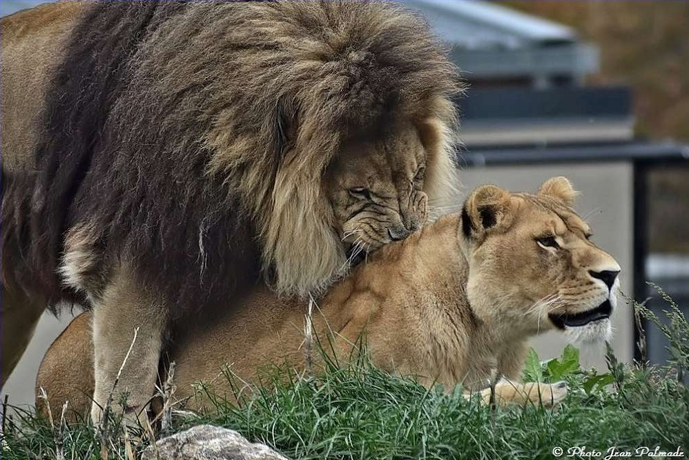 Lions Dsc_4612