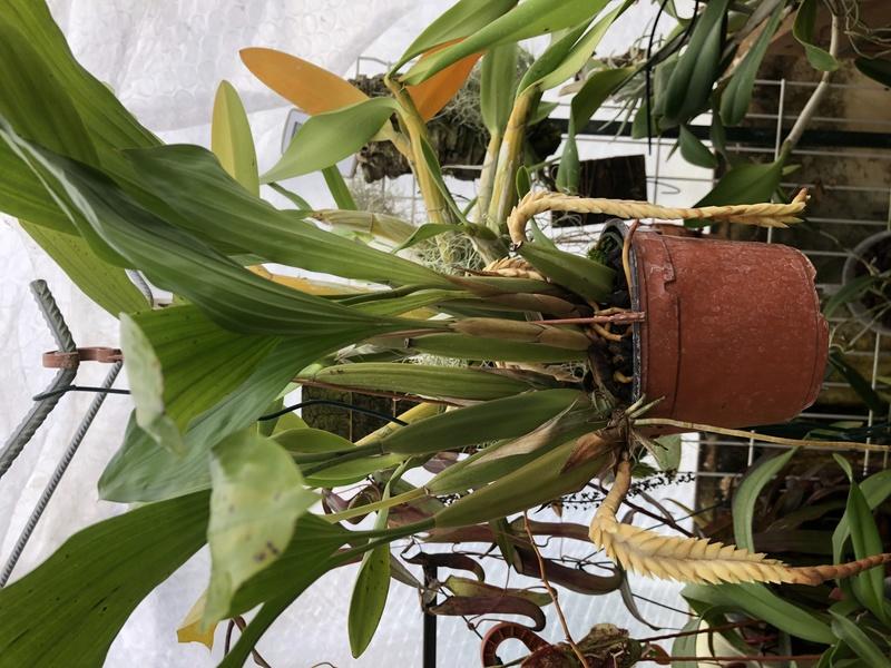 Floraison coelogyne rochussenii Img_0213