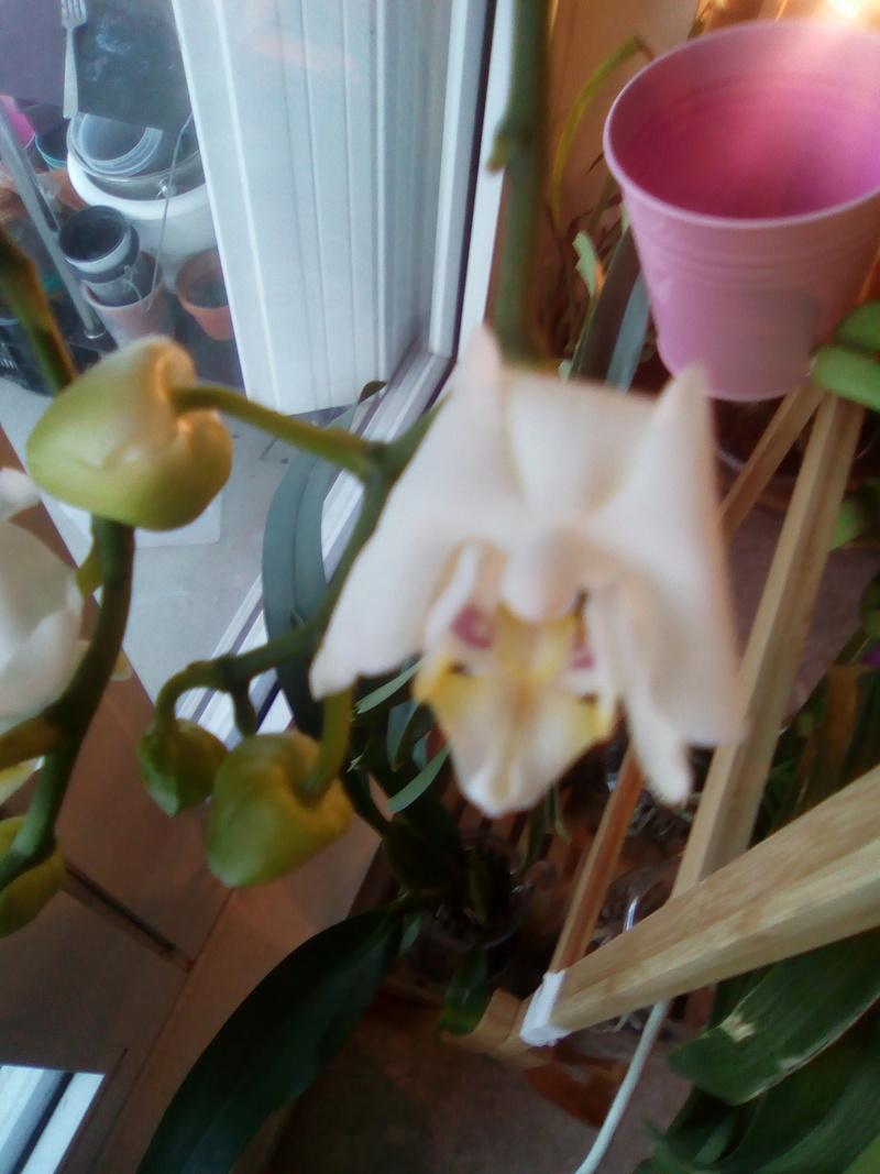 Fleurs Phalaenopsis toutes molles Img_2010