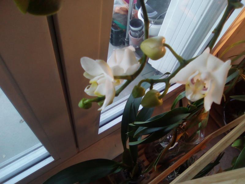 Fleurs Phalaenopsis toutes molles Img_2011