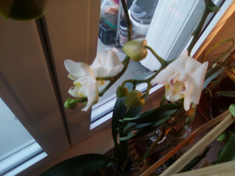 Fleurs Phalaenopsis toutes molles Img_2012