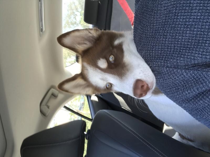 husky puppy age 3vambm10